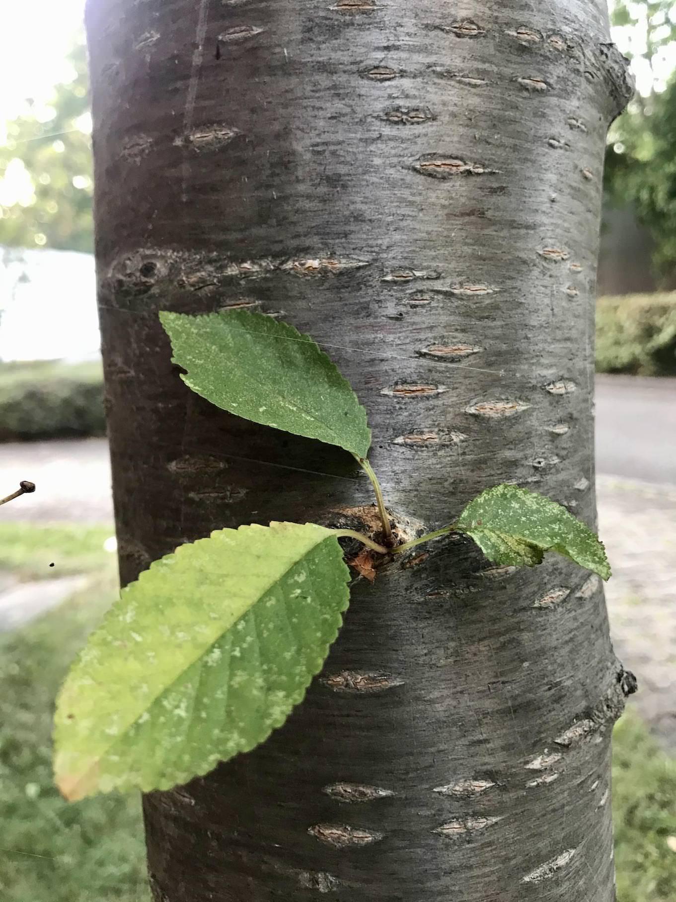 Rinde kirschbaum 3 Deko